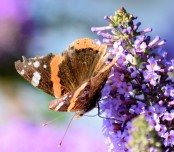 Very tattered Red Admiral...