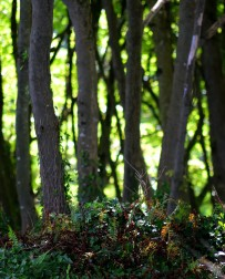 The trees whisper ... soft, gentle peace! Woodland north of Courtown, Co Wexford, Ireland.,