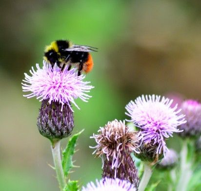 Beauty! A red tailed bumble... I think!