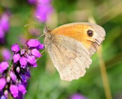 Worn Meadow Brown... yep, life's been good!