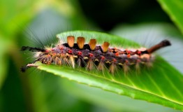 The caterpillar of the Vapourer (Orgyia antiqua) moth! Charming!!