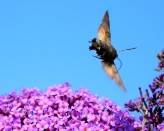 Hummingbird Hawk Moth in flight