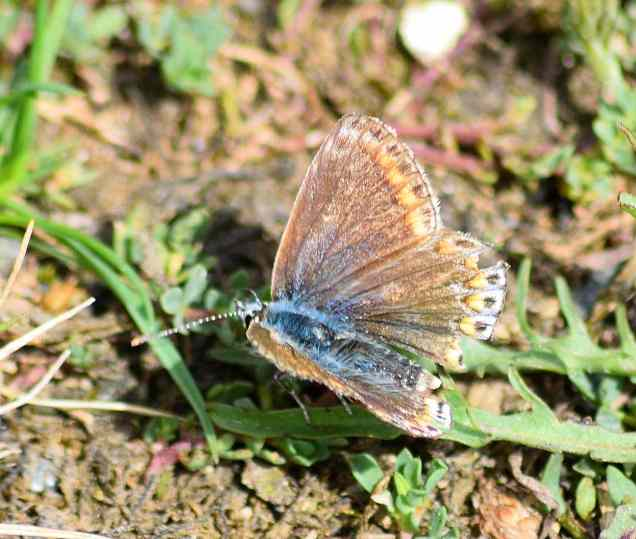 Tattered Common Blue