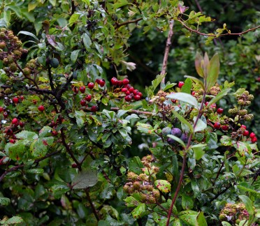 Hedgerow plants and fruit... pleasure unfolding!