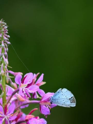 Holly Blue on pink...