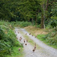 Young pheasants roam free... nothing like a bit of game for flavour!