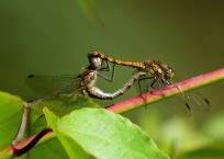 Dragonflies passion pose... the future is secure!
