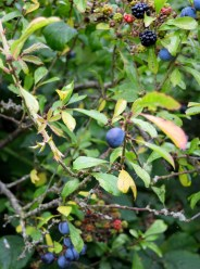 Blackthorn sloes... delightfully flavourful!