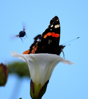 Red Admiral... bee and bindweed bloom... there you have it, bloom, bee, butterfly!