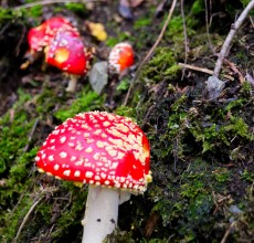 Fly agaric... there's magic in them woods!