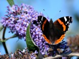 Summer memories - a Red Admiral posing... just for me!