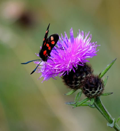 A happy summer's moment... a Six-spot Burnet on thistle.