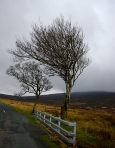 Windswept desolation... Sally Gap trees!!