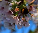 Pretty, pretty - pink blossoms attracting bumblebees!