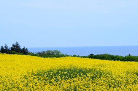 Hay-fever special!! Rapeseed field outside Arklow...