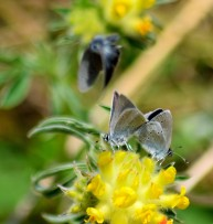 Two's company... three's a crowd!! Small Blues mating... and being buzzed!
