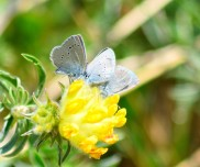 Small blues mating... three's a crowd - busy flower!