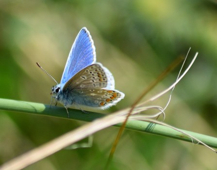 Small blues mating... the lonely one!