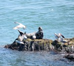 A seal tries hard to relax... if only the seagulls will leave it be!! Off Kilmichael Pint, Co Wexford, Ireland