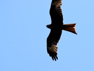 Closer look at a Red Kite over Arklow...