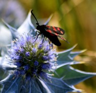 Sunday beach walk reward! Six Spot Burnet