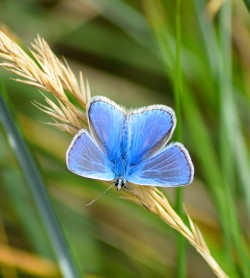 Sunday beach walk reward! Common Blue