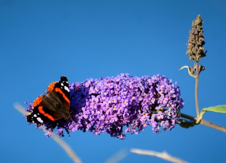 Red Admiral on buddleia - against the sea backdrop... summer bliss!
