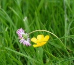 The beauty of a green Irish spring - buttercup