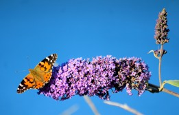 "Painted Lady on ""butterfly bush"" - against the blue of the sea... a totally colourful experience!"