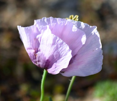 Poppies... peace!