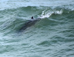 Perfect porpoise performance... cutting the ripples