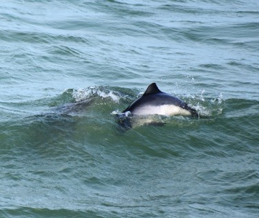 Perfect porpoise performance... jumping?