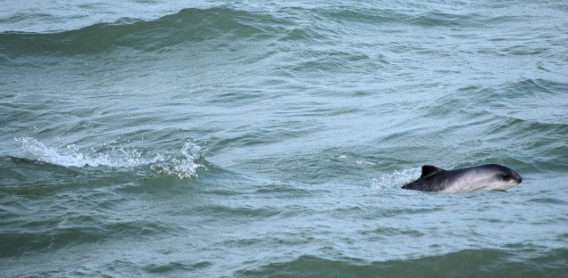 Perfect porpoise performance... racing along...