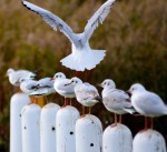 Seven plus one! Gulls playing squawking bollards... FUN!