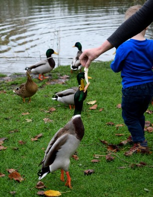 Jumping mallards!! Fun feeding the ducks... for all concerned!