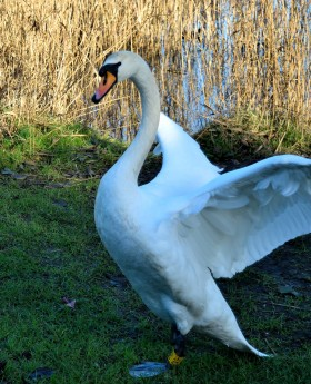 curves = swan style!