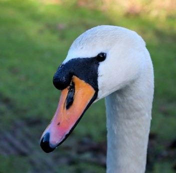 Swan curves... some neck you have!