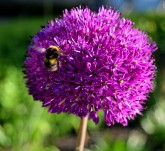 The bee... on purple...