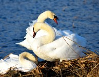 Neck, wings... curves, swan style! Three's company!