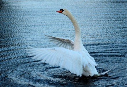 Neck, wings... curves, swan style!