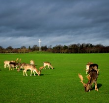 The deer... mowing the lawns in Phoenix Park - the Papal Cross in the distance... Jan 2019