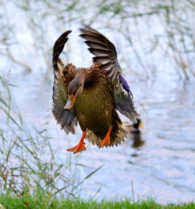 Duck drop... earth coming up... fast... too fast!