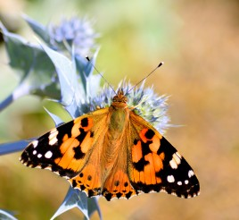 Memories of last summer... Painted Lady on Sea Holly... wonderful!!