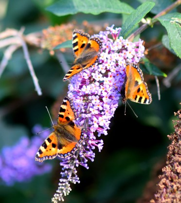 Three of them - small tortoiseshells enjoying summer!