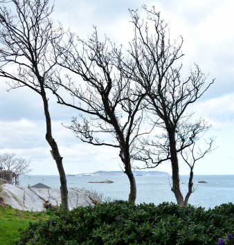 Three trees on a Dalkey hill... bent to the left?