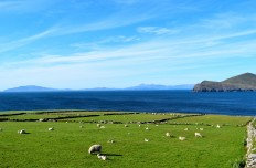 OH... to be a sheep! Valentia Island... a different form of paradise! Promise!