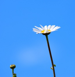 Daisy and bud... leaning towards the light!