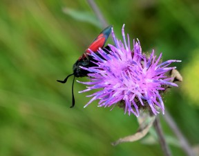 Six-spot burnet - on thistle