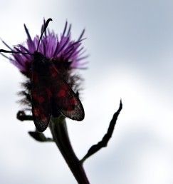 Six-spot burnet - against the sky
