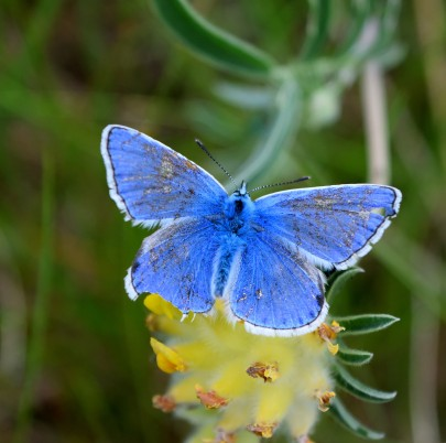 Common blue male - a tad tattered but still beautiful!